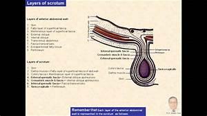 Magdy Said Anatomy Series Abdomen 7- Scrotum V1