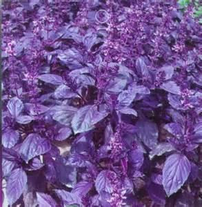 SD1544 Rare Purple Basil Herb Seeds, Fresh Garden Herb Seeds, New Live Seeds (60 Seeds)