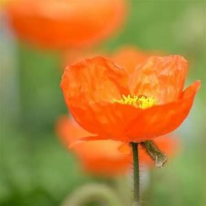 Orange Iceland Poppy Flower Photograph by P S