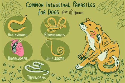common worms  intestinal parasites  dogs