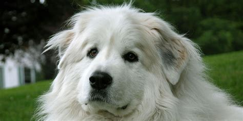 great pyrenees shedding information 28 great pyrenees shedding information great