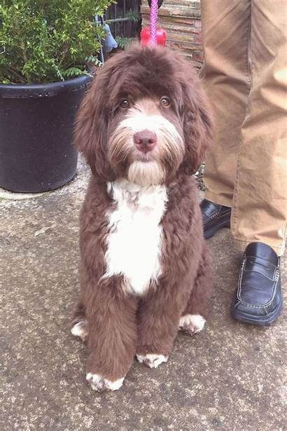 Labradoodle Chocolate Puppies Haircuts Goldendoodle Dogs Hunde