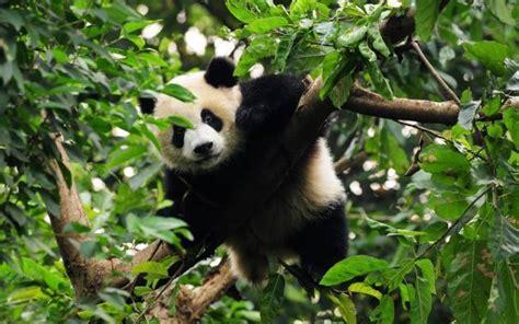 grosser panda liebenswerter vegetarier wwf schweiz