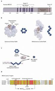 Structure And Function Of Brca2 And Rad51 Proteins   A