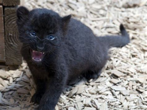 Baby Black Panther Baby Panther Trying To Act Like Hes