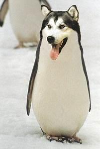 Siberian Husky  Penguin