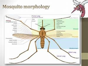 Ppt - Mosquitoes Powerpoint Presentation