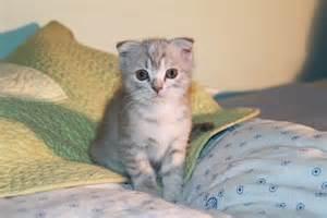 munchkin cat scottish fold scottish fold munchkin and scottish fold cats