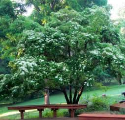 Chinese Gardener by Evergreen Chinese Dogwood Piedmont Gardener