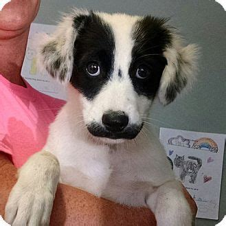 australian shepherdborder collie mix dog  adoption