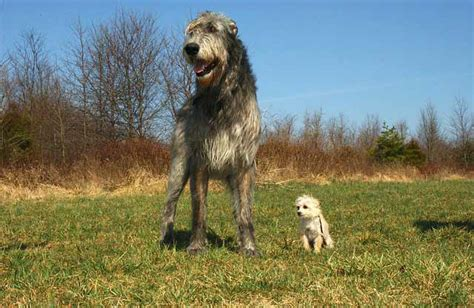 irish wolfhound dog breed 187 information pictures more