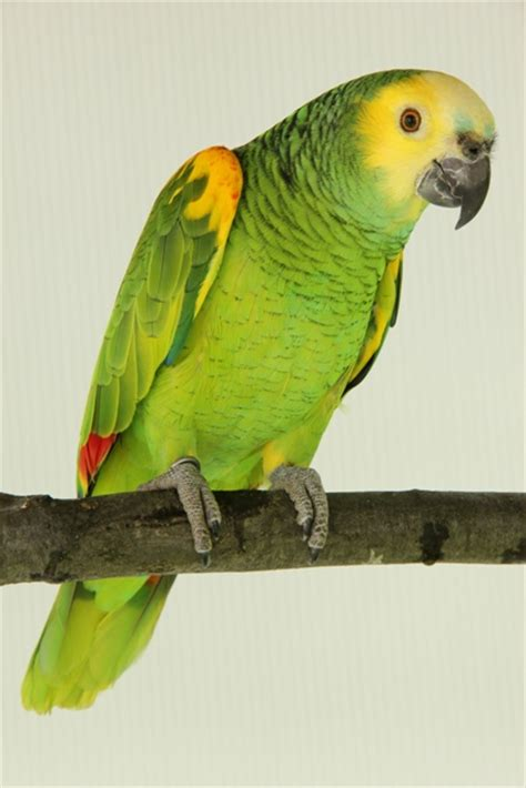 blue fronted the aquisition husbandry and breeding of common amazons hari