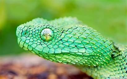 Viper Bush African Snake Wallpapers Snakes Leaf