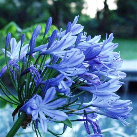 Agapanto Blu, Autore Su Efp Fanfiction