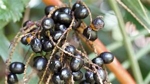 What Is Saw Palmetto  Prostate Health And Other Uses