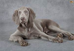 weimaraner dog breed information buying advice photos