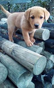 Adopt Mason on | Golden retriever mix, Labrador retriever ...