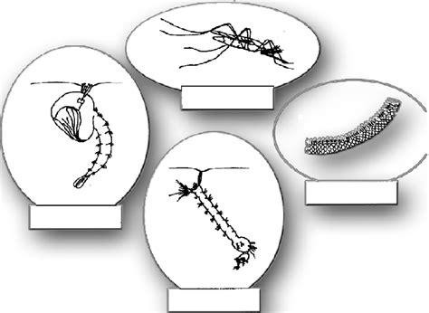 le cycle de reproduction du moustique