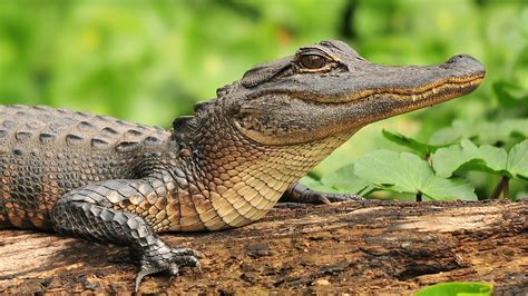 aligator cuisine 5 places in florida to view alligators in their