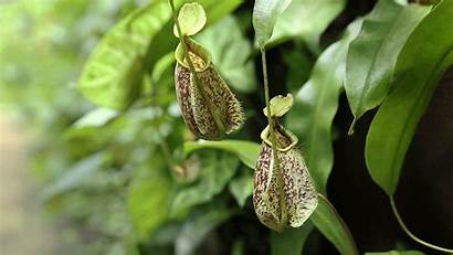 Plant Plants Pitcher Adaptation Leaf Gifs Nepenthes