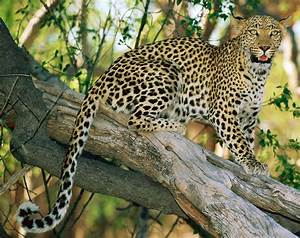 Leopard, Facts, For, Kids