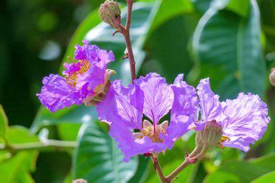 pfingstrosen pflege und schnitt lagerstroemia pflanzen die 10 wichtigsten tipps f 252 r pflanzung pflege und schnitt