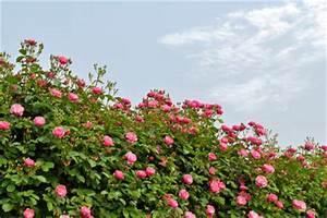 Rosen Winterfest Machen : anleitungen im bereich garten zum thema rosen ~ Orissabook.com Haus und Dekorationen