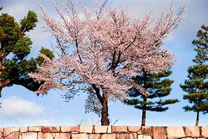 the meaning of a cherry blossom tree – Roselawnlutheran