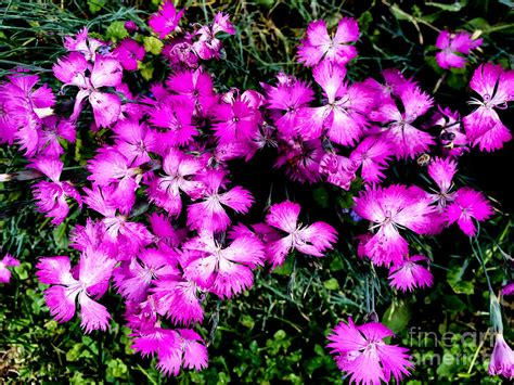 Dianthus Photograph By William Norton Curtain Installation Ideas Proper Way To Hang Tie Backs Home Theatre Blackout Curtains Pom Trim Uk Door Pole B Q French Panel How Install Rods Without A Drill
