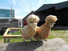 Bantam Chicken Breeds
