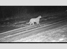 Mountain lion spotted in Devils Lake, ND leaves trail of