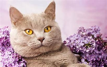 Shorthair British Lilac Cats Cat 4k Domestic