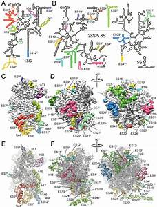 Ribosomal Rna Expansion Segments And Variable Regions    A