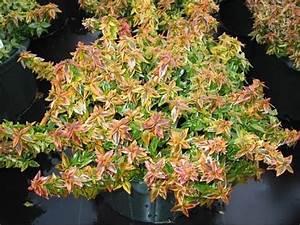 Abelia Grandiflora Kaleidoscope : abelia x grandiflora 39 kaleidoscope 39 youtube ~ Melissatoandfro.com Idées de Décoration