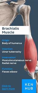 The Brachialis Is A Long And Strong  Muscle Of The Upper