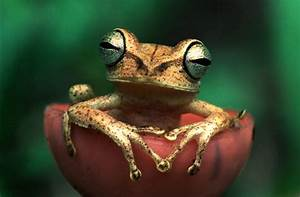 Exotic Earth: A rare bulge eyed Frog from Amazon Rainforest