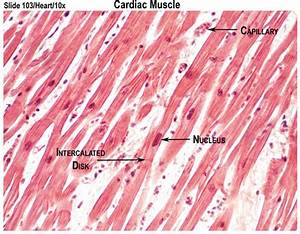 Muscle Cell