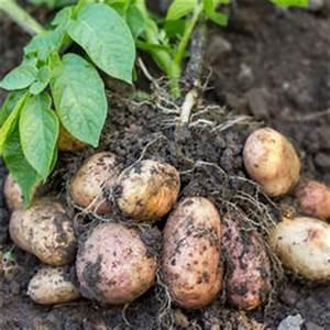 Kartoffeln Zum Einkellern Kaufen : kartoffeln pflanzen pflegen ernten mein sch ner garten ~ Lizthompson.info Haus und Dekorationen