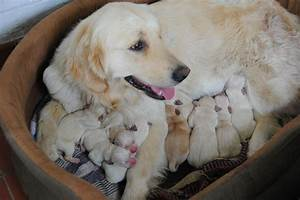 Pedigree Labrador cross Golden Retriever Puppies ...