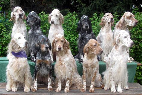 English Setter Coloring, Download English Setter Coloring