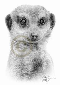 Pencil drawing of an adult Meerkat by artist Gary Tymon