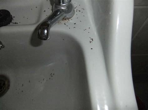 ants kitchen sink black ants in kitchen sink 1306