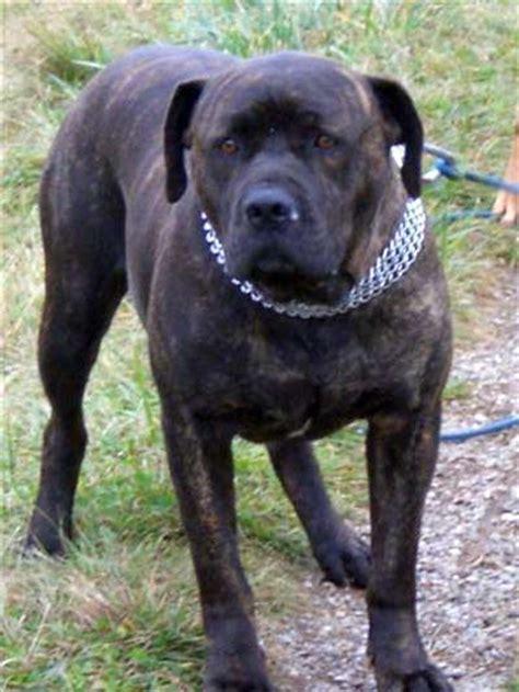 tiervermittlung apson cane corso frankreich hunde
