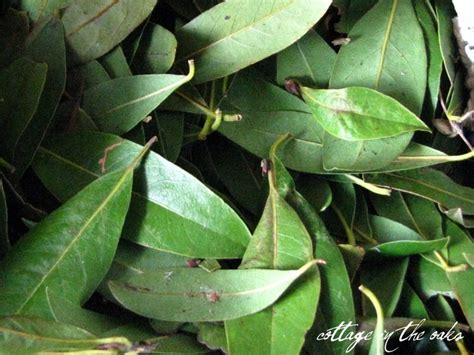 substitute for bay leaf 17 best images about herbs and remedies on pinterest lavender oil weed and plants