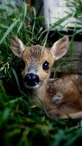 sweet baby deer pictures photos and images for