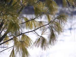 file pine tree needles jpg