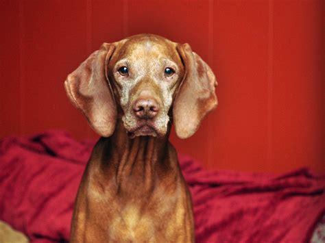 Do Vizsla Puppies Shed by Do Vizslas Make Family Dogs Fusion Vizslas