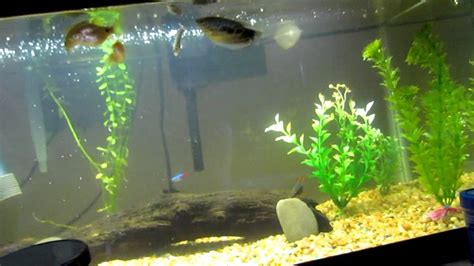 spotted african leaf fish youtube