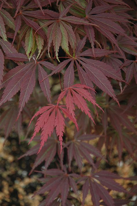 burgundy lace japanese maple acer palmatum burgundy lace