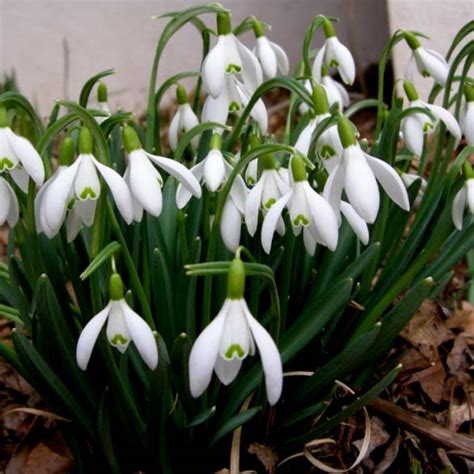 best priced snowdrop bulbs on sale next day delivery